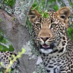 Leopard Kwandwe Private Game Reserve