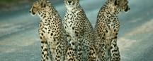 phill-cheetah-trio_small