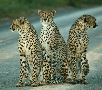 phill-cheetah-trio_small